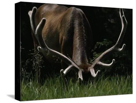 Antlers Sheathed in Summer Velvet, a Mature Bull Wapiti Grazes Near the Gibbon River-Raymond Gehman-Stretched Canvas Print