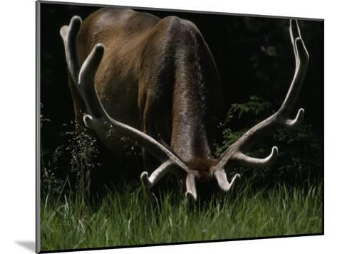 Antlers Sheathed in Summer Velvet, a Mature Bull Wapiti Grazes Near the Gibbon River-Raymond Gehman-Mounted Photographic Print