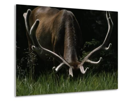 Antlers Sheathed in Summer Velvet, a Mature Bull Wapiti Grazes Near the Gibbon River-Raymond Gehman-Metal Print