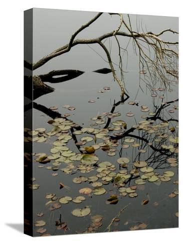 The Branch of a Tree Reflected on a Pond with Water Lily Pads-Todd Gipstein-Stretched Canvas Print