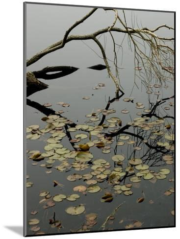 The Branch of a Tree Reflected on a Pond with Water Lily Pads-Todd Gipstein-Mounted Photographic Print