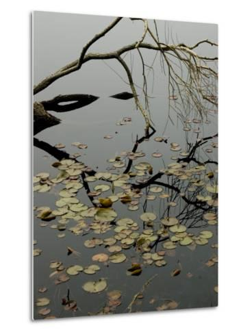 The Branch of a Tree Reflected on a Pond with Water Lily Pads-Todd Gipstein-Metal Print