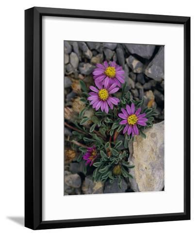 Pink Mountain Townsendia Brighten a Rocky Outcrop-Raymond Gehman-Framed Art Print