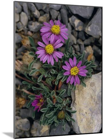 Pink Mountain Townsendia Brighten a Rocky Outcrop-Raymond Gehman-Mounted Photographic Print