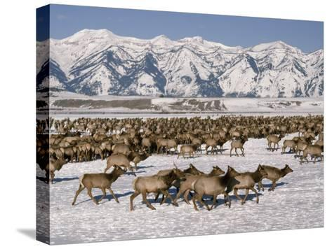 A Herd of Elk Moving Through the Snow Covered Rangeland of the National Elk Refuge-Raymond Gehman-Stretched Canvas Print