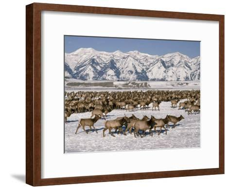 A Herd of Elk Moving Through the Snow Covered Rangeland of the National Elk Refuge-Raymond Gehman-Framed Art Print