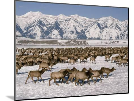 A Herd of Elk Moving Through the Snow Covered Rangeland of the National Elk Refuge-Raymond Gehman-Mounted Photographic Print