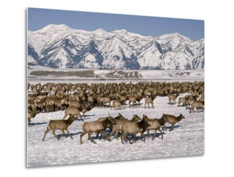 A Herd of Elk Moving Through the Snow Covered Rangeland of the National Elk Refuge-Raymond Gehman-Metal Print