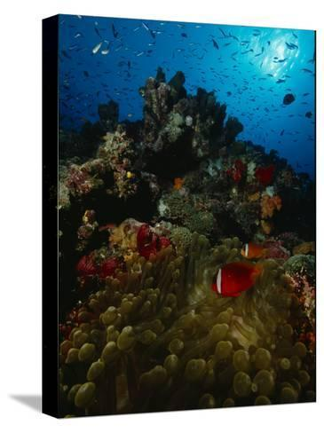 Orange-Fin Anemonefish and Anthias Swimming over a Colorful Reef-Tim Laman-Stretched Canvas Print