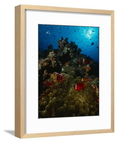 Orange-Fin Anemonefish and Anthias Swimming over a Colorful Reef-Tim Laman-Framed Art Print