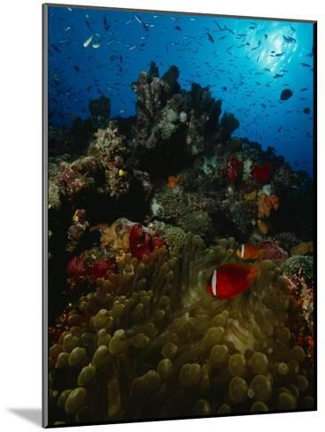Orange-Fin Anemonefish and Anthias Swimming over a Colorful Reef-Tim Laman-Mounted Photographic Print
