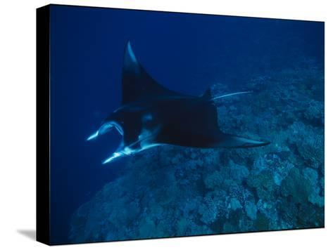 A Graceful Manta Ray Swimming over the Great Astrolabe Reef-Tim Laman-Stretched Canvas Print