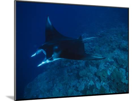 A Graceful Manta Ray Swimming over the Great Astrolabe Reef-Tim Laman-Mounted Photographic Print