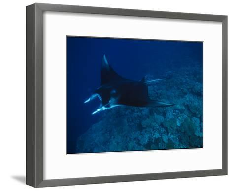 A Graceful Manta Ray Swimming over the Great Astrolabe Reef-Tim Laman-Framed Art Print