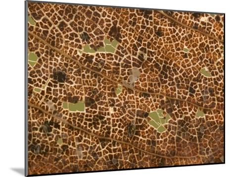 Photo Magnifying Detail of a California Black Oak Leaf-Phil Schermeister-Mounted Photographic Print