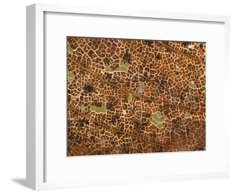 Photo Magnifying Detail of a California Black Oak Leaf-Phil Schermeister-Framed Art Print