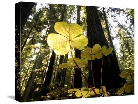 Redwood Sorrel Plants, Oxalis Oregana, in the Forest-Phil Schermeister-Stretched Canvas Print