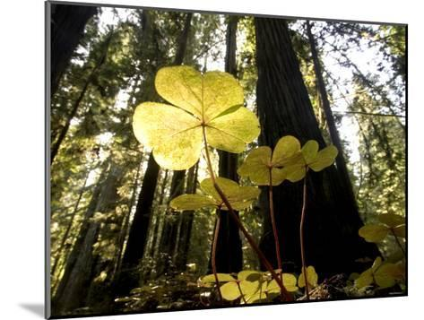 Redwood Sorrel Plants, Oxalis Oregana, in the Forest-Phil Schermeister-Mounted Photographic Print
