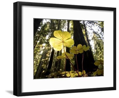 Redwood Sorrel Plants, Oxalis Oregana, in the Forest-Phil Schermeister-Framed Art Print