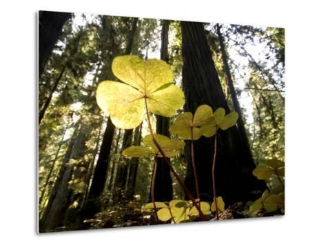 Redwood Sorrel Plants, Oxalis Oregana, in the Forest-Phil Schermeister-Metal Print