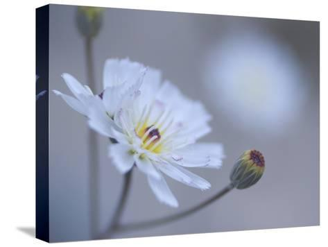 Close Up White Tackstem, Calycoseris Wrightii, a Wildflower-Phil Schermeister-Stretched Canvas Print