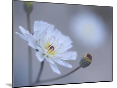 Close Up White Tackstem, Calycoseris Wrightii, a Wildflower-Phil Schermeister-Mounted Photographic Print