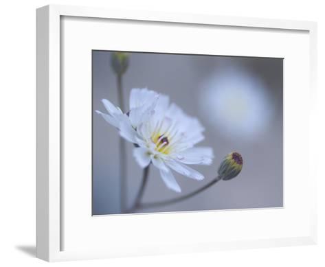 Close Up White Tackstem, Calycoseris Wrightii, a Wildflower-Phil Schermeister-Framed Art Print