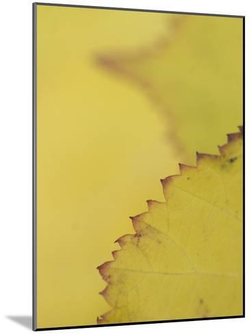 Leaves of the California Blackberry Plant Shot at High Magnification-Phil Schermeister-Mounted Photographic Print