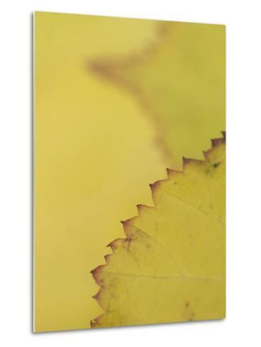 Leaves of the California Blackberry Plant Shot at High Magnification-Phil Schermeister-Metal Print