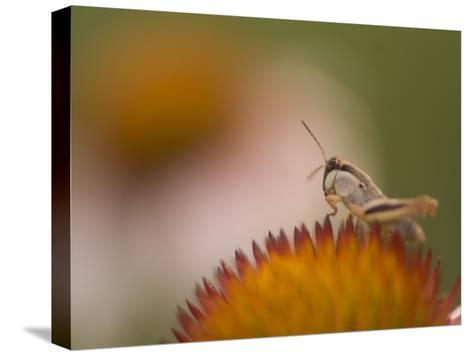 Magnification of a Grasshopper Sitting on a Purple Coneflower Plant-Phil Schermeister-Stretched Canvas Print