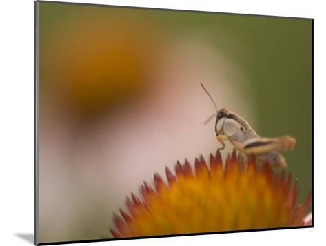 Magnification of a Grasshopper Sitting on a Purple Coneflower Plant-Phil Schermeister-Mounted Photographic Print