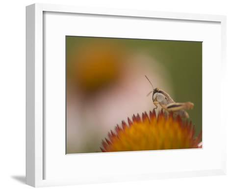 Magnification of a Grasshopper Sitting on a Purple Coneflower Plant-Phil Schermeister-Framed Art Print