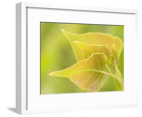 Close Up of New Leaves Growing on a Plains Cottonwood Tree-Phil Schermeister-Framed Art Print