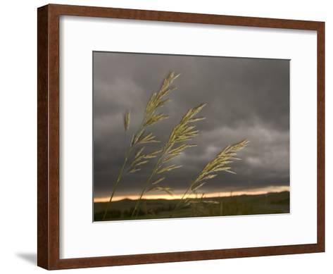 Prairie Wedge Grass Stands Out Against Thunderclouds in Grasslands-Phil Schermeister-Framed Art Print
