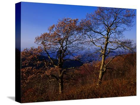 Oak Trees in Autumn Colors in a Mountain Scenic-Raymond Gehman-Stretched Canvas Print