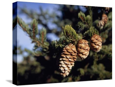 Close Up of Cones on a Spruce Tree Branch-Raymond Gehman-Stretched Canvas Print