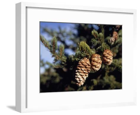 Close Up of Cones on a Spruce Tree Branch-Raymond Gehman-Framed Art Print