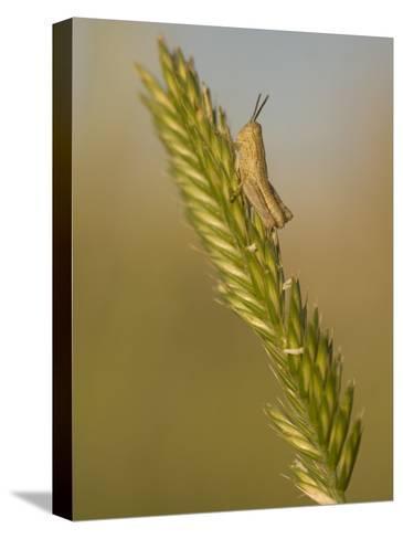 A Grasshopper Sits on Grass in the Little Missouri National Grasslands-Phil Schermeister-Stretched Canvas Print