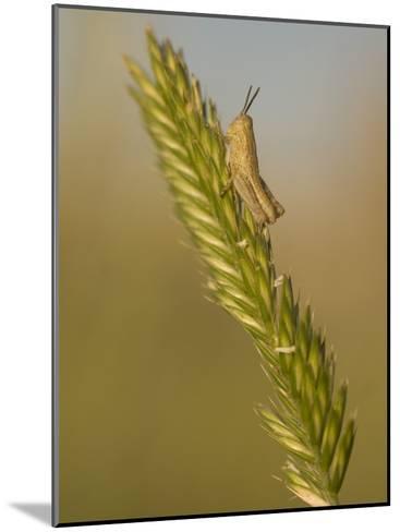 A Grasshopper Sits on Grass in the Little Missouri National Grasslands-Phil Schermeister-Mounted Photographic Print