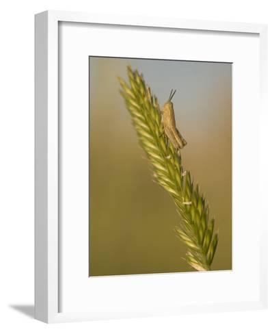 A Grasshopper Sits on Grass in the Little Missouri National Grasslands-Phil Schermeister-Framed Art Print