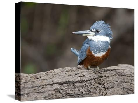 Ringed Kingfisher, Ceryle Torquata, Perched on a Tree Branch-Roy Toft-Stretched Canvas Print