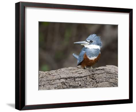 Ringed Kingfisher, Ceryle Torquata, Perched on a Tree Branch-Roy Toft-Framed Art Print