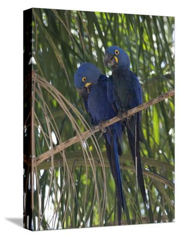 Pair of Hyacinth Macaws, Anodorhynchus Hyacinthinus, in a Tree-Roy Toft-Stretched Canvas Print