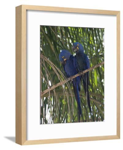 Pair of Hyacinth Macaws, Anodorhynchus Hyacinthinus, in a Tree-Roy Toft-Framed Art Print