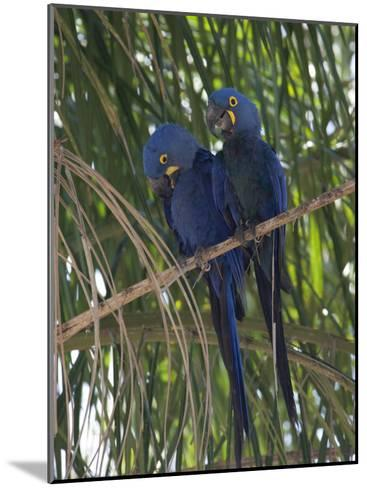 Pair of Hyacinth Macaws, Anodorhynchus Hyacinthinus, in a Tree-Roy Toft-Mounted Photographic Print