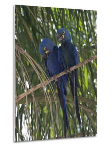 Pair of Hyacinth Macaws, Anodorhynchus Hyacinthinus, in a Tree-Roy Toft-Metal Print