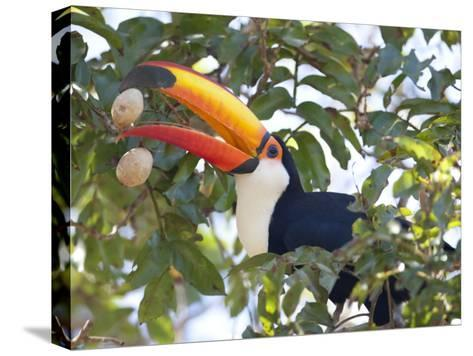 Toco Toucan, Ramphastos Toco, Eating Palm Nuts-Roy Toft-Stretched Canvas Print