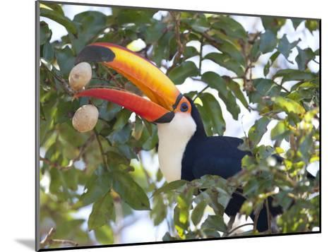 Toco Toucan, Ramphastos Toco, Eating Palm Nuts-Roy Toft-Mounted Photographic Print