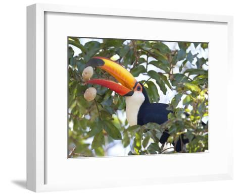 Toco Toucan, Ramphastos Toco, Eating Palm Nuts-Roy Toft-Framed Art Print