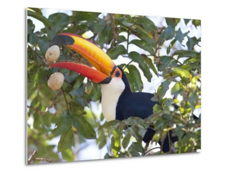 Toco Toucan, Ramphastos Toco, Eating Palm Nuts-Roy Toft-Metal Print